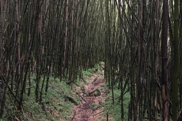Bamboo Forest, Ruwenzori National Park